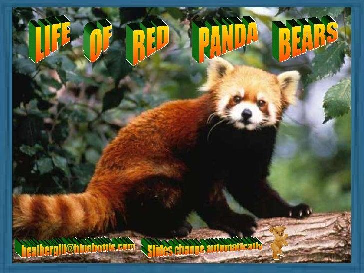 Life Of Red Panda Bears