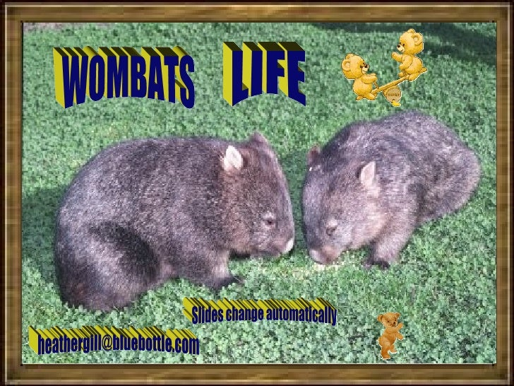 WOMBATS LIFE [email_address] Slides change automatically