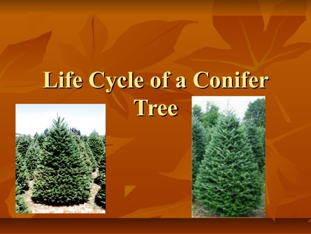 Life Cycle of a Conifer Tree