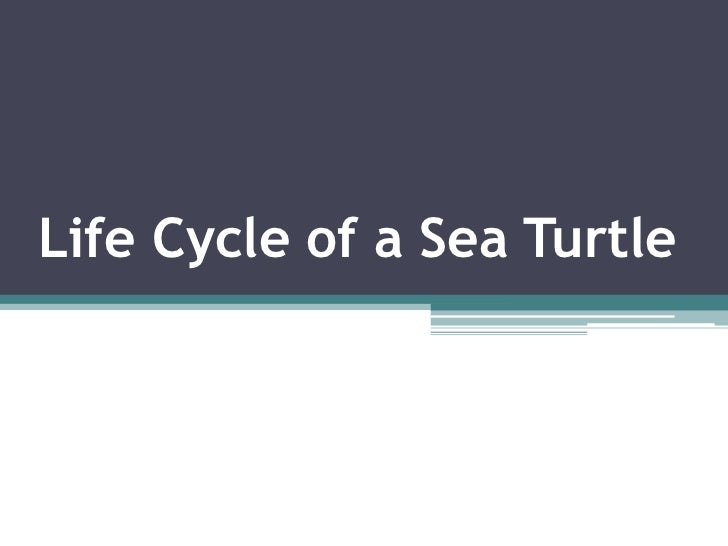 Life Cycle of a Sea Turtle<br />