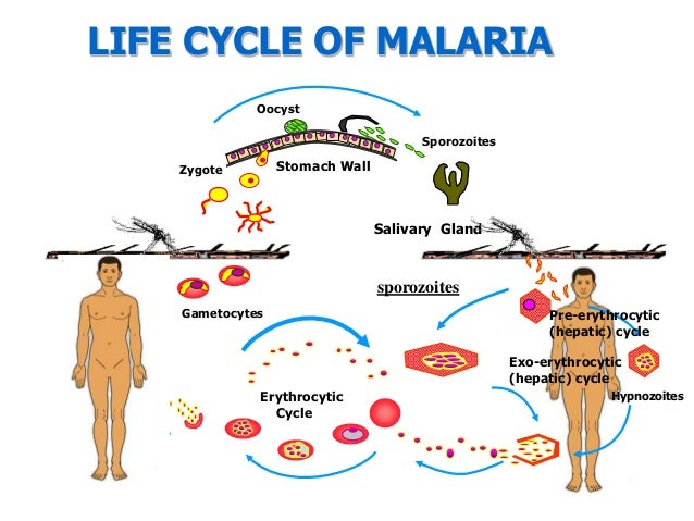 Malaria Plasmodium Life Cycle as well Mazda CX 3 together with Labeled Anatomy Human Leg Muscles furthermore 32 Flip Schematic moreover Blonde Hair Color. on infinity wiring diagram