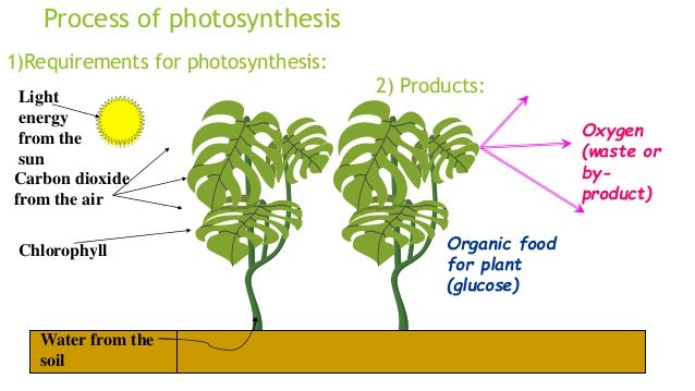 the process of photosynthesis essay
