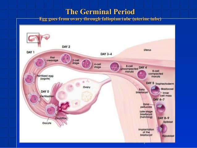 germinal period of prenatal development pictures to pin on