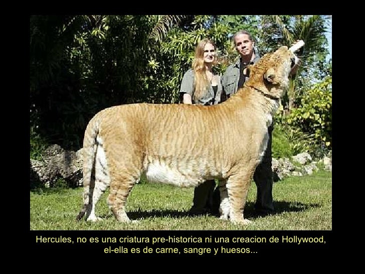 Hercules, no es una criatura pre-historica ni una creacion de Hollywood, el-ella es de carne, sangre y huesos... 