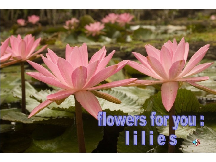 flowers for you : l i l i e s