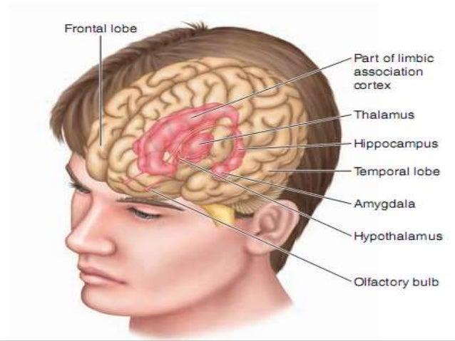 Anterior Cingulate Cortex And Insula Cortex Anterior Insula
