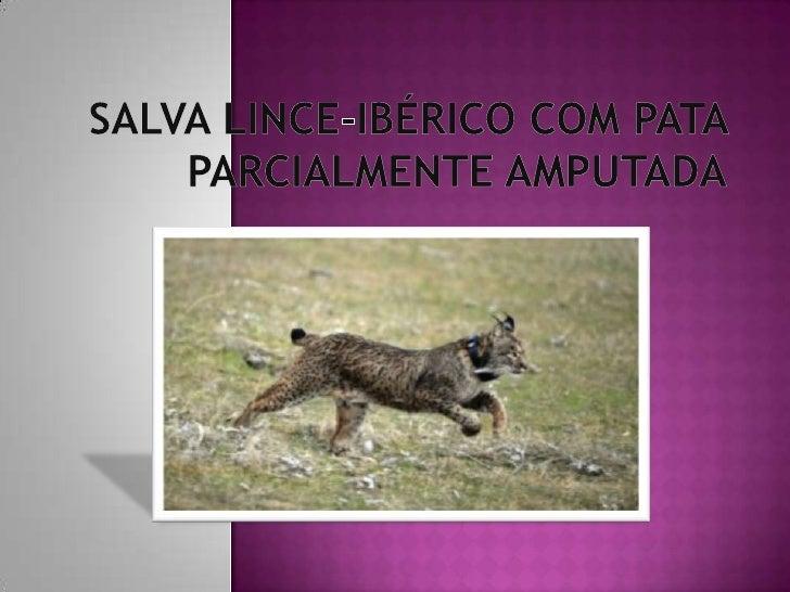 """Na Andaluzia em março este lince-ibérico , chamado """"Durillo"""", foi encontrado com a pata traseira(direita) muito ferida."""