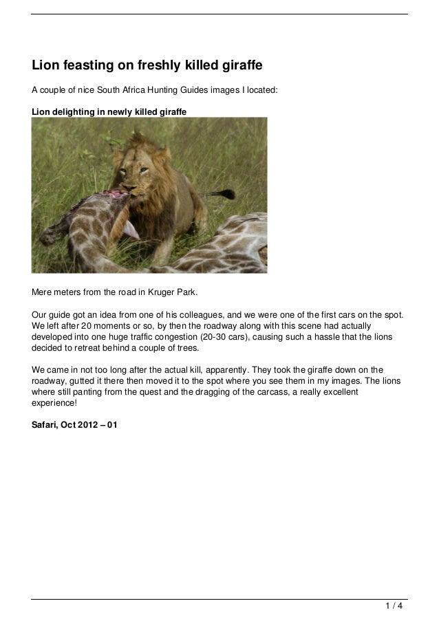 Lion feasting on freshly killed giraffe