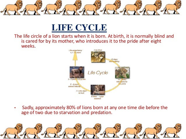 lion project 4 638?cb=1380348158 lion life cycle diagram