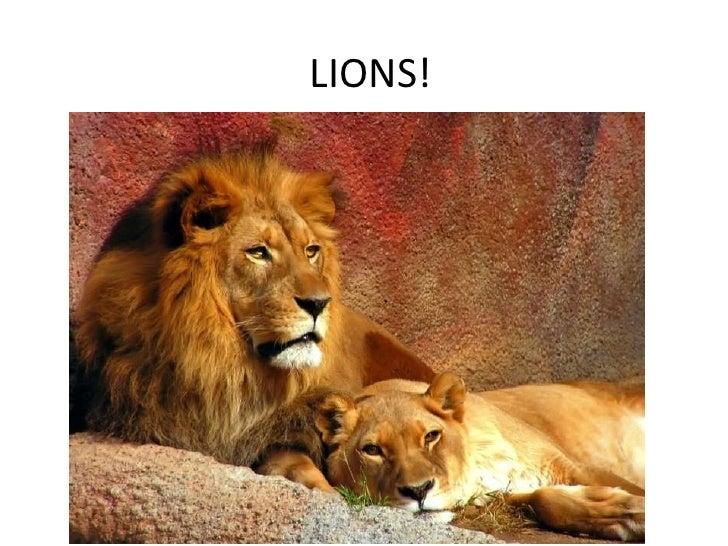LIONS!