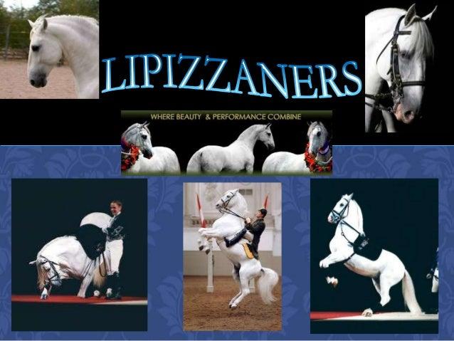 Lipizzaners powerpoint