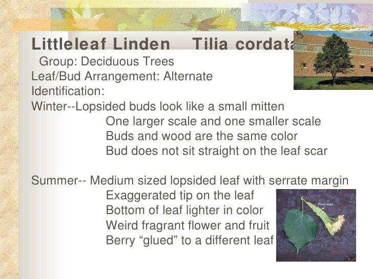 Littleleaf linden show