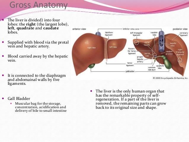 Liver anatomy location