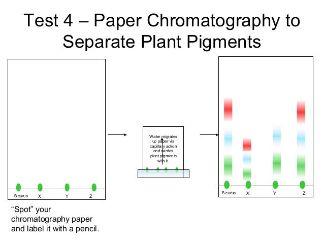 paper chromatography research paper Separation of amino acids by paper chromatography chromatography is a common technique for separating chemical substances the prefix chroma, which suggests color, comes from the fact that some of the earliest.