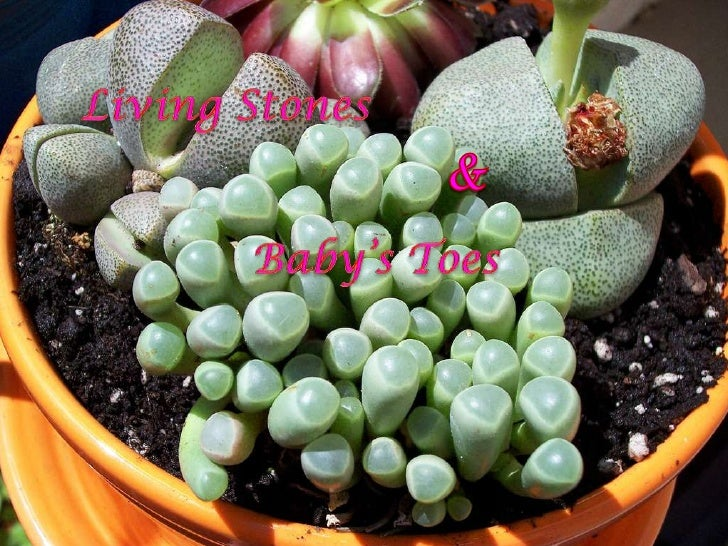 Living  Stones &  Baby's  Toes