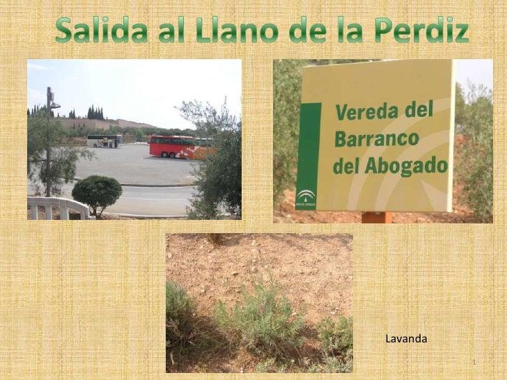 Salida al Llano de la Perdiz<br />Lavanda<br />1<br />