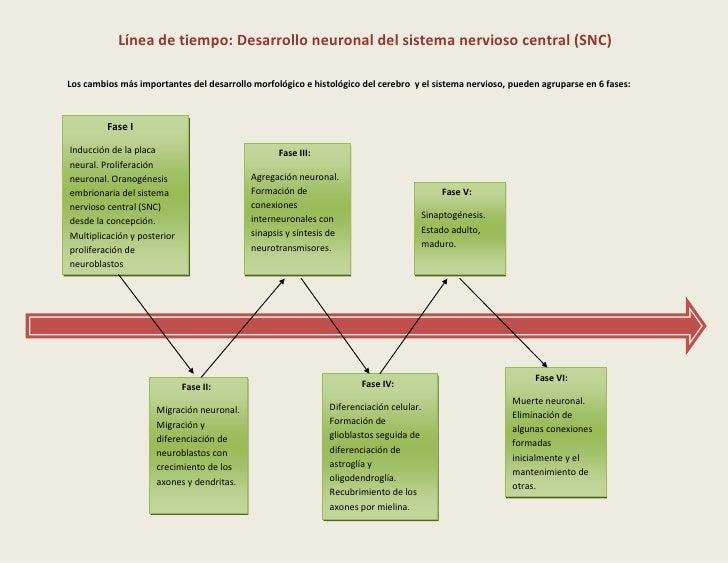 Línea de tiempo: Desarrollo neuronal del sistema nervioso central (SNC) Los cambios más importantes del desarrollo...