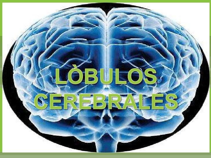 LÒBULOS CEREBRALES<br />