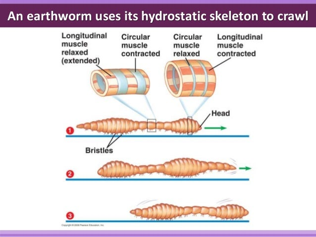 locomotion of earthworm