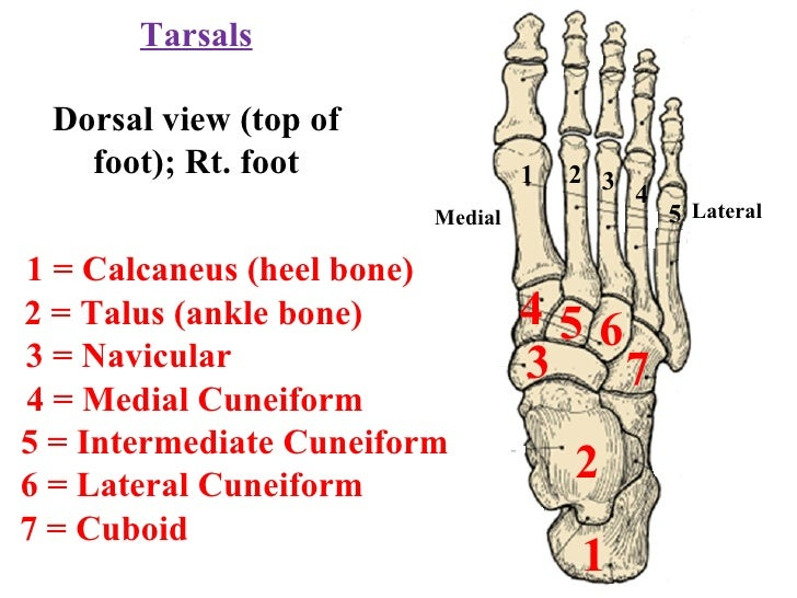 Ankle Bone Structure 2 Talus Ankle Bone 4