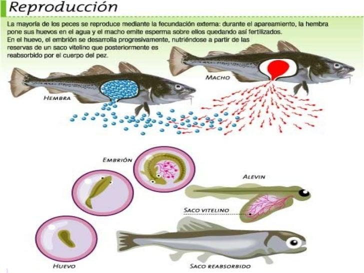 como nacen los pescados imagui