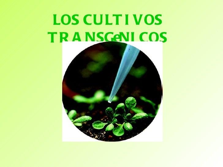 LOS CULTIVOS TRANSGENICOS