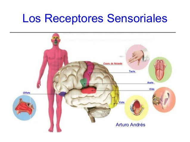 Los Receptores SensorialesArturo Andrés