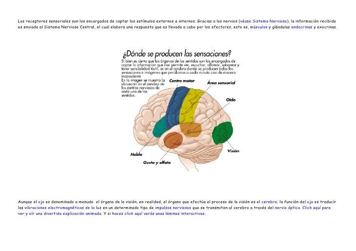 Los receptores sensoriales son los encargados de captar los estímulos externos e internos. Gracias a los nervios (véase Si...