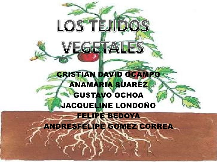 LOS TEJIDOS VEGETALES<br />CRISTIAN DAVID OCAMPO<br />ANAMARIA SUAREZ<br />GUSTAVO OCHOA<br />JACQUELINE LONDOÑO<br />FELI...