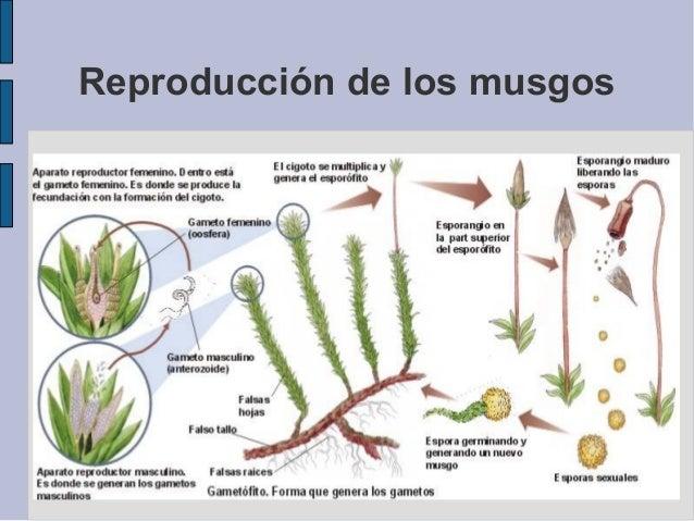 Tipo de reproduccion asexual de los musgos
