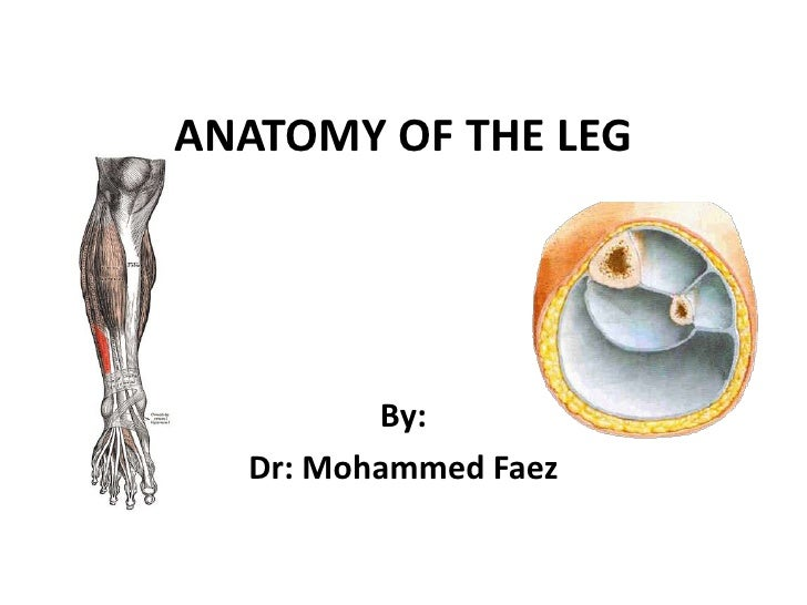 ANATOMY OF THE LEG<br />By:<br />Dr: Mohammed Faez<br />