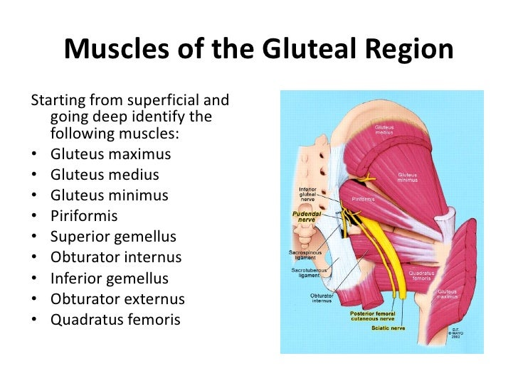 Anatomy of gluteal muscles