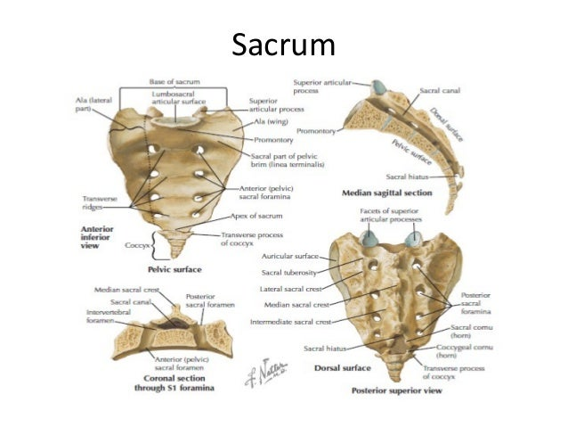 Sacrum Anatomy Image Gallery sacrum a...