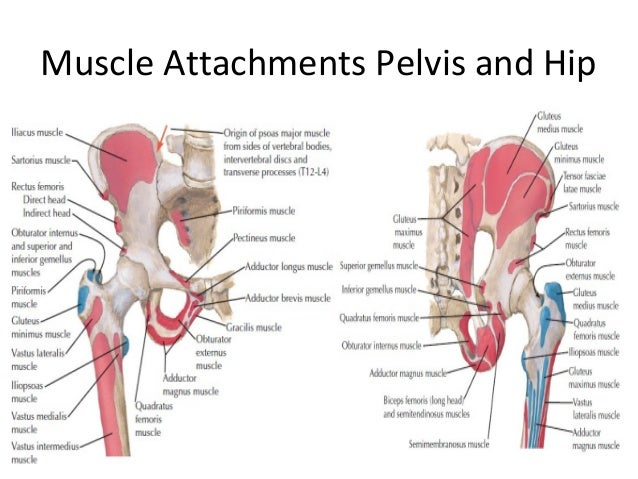 Anatomy of hips and pelvis