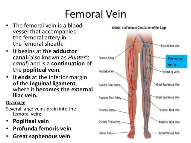 Anatomy femoral vein