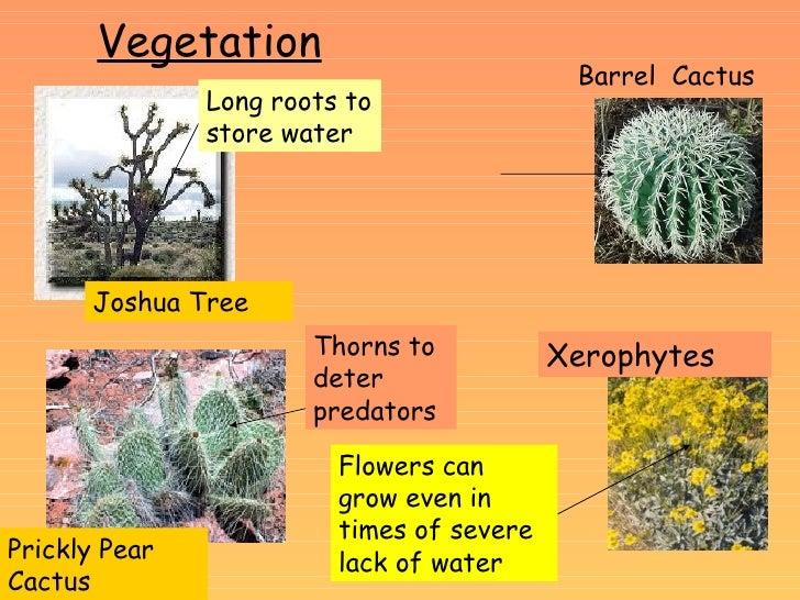 Barrel Cactus Adaptations Vegetation Barrel Cactus