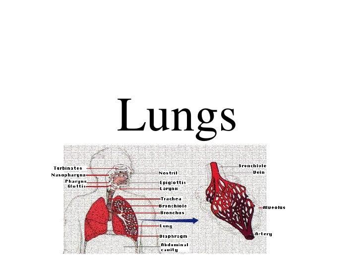 Lungs bio120