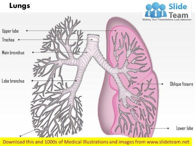 Lung lobe anatomy