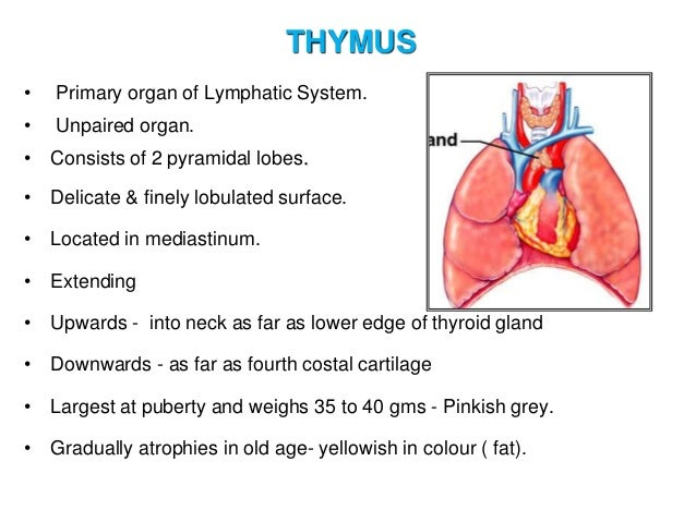 14  20TOPOGRAPHY 20AND 20STRUCTURE 20OF 20URINARY 20SYSTEM 20ORGANS also 15958981 furthermore The Glands In Neck And Throat Diagram furthermore 9217501 as well Thyroid Ultrasound For The Endocrine Surgeon. on thyroid gland in neck location