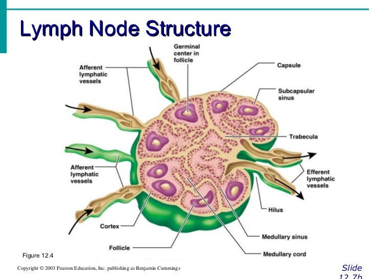 Anatomy of a lymph node