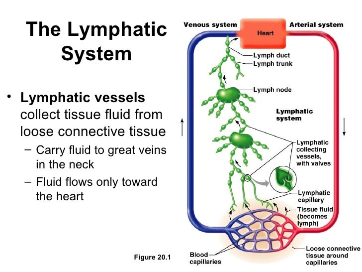 Lymphatic System Flow Diagram Free Car Wiring Diagrams