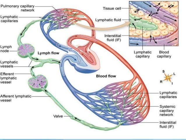 Diagram of the bodies organs