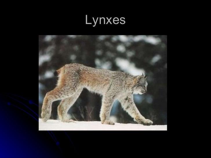 Lynxes Kole