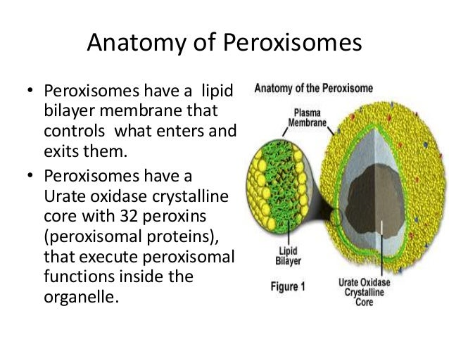 introduction to peroxisomes It used to be thought that peroxisomes are formed by the budding of smooth endoplasmic reticulum (er) however, now it is thought that they form through self-assembly (i will get more information references as i do some more thorough literature searches) the peroxisome is another major source of.