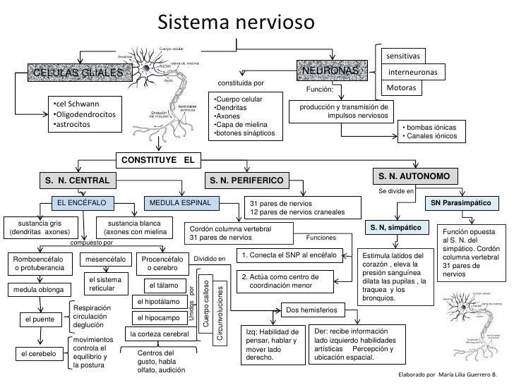 Sistema nervioso<br />sensitivas<br />NEURONAS<br />interneuronas<br />CELULAS GLIALES<br />constituida por <br />Motoras<...