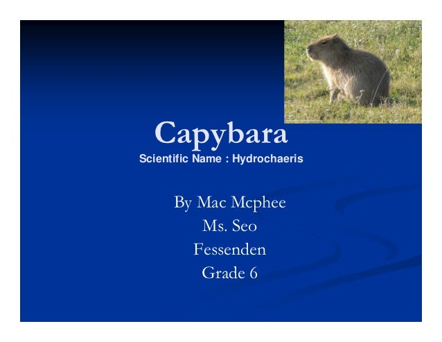 CapybaraScientific Name : Hydrochaeris      By Mac Mcphee         Ms. Seo        Fessenden         Grade 6