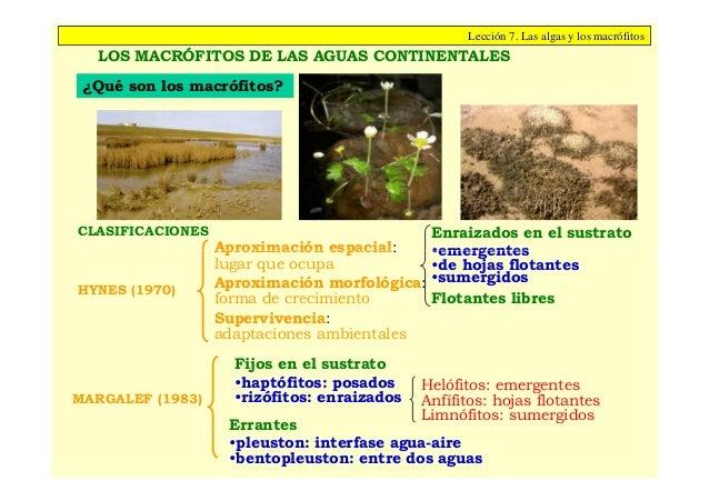 Lección 7. Las algas y los macrófitos  LOS MACRÓFITOS DE LAS AGUAS CONTINENTALES ¿Qué son los macrófitos?CLASIFICACIONES  ...