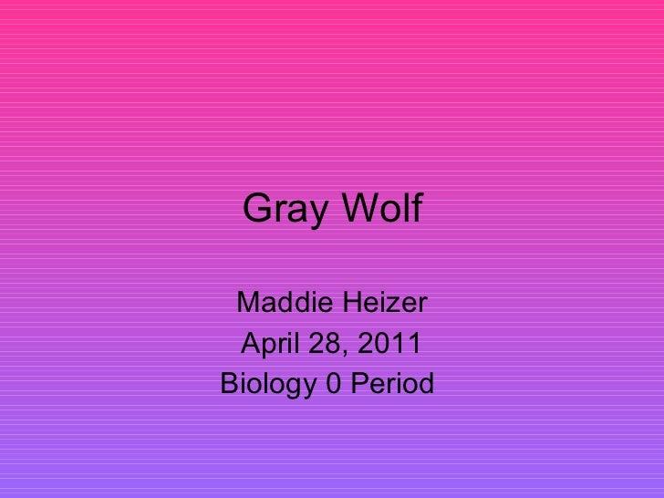 Gray Wolf Maddie Heizer April 28, 2011 Biology 0 Period