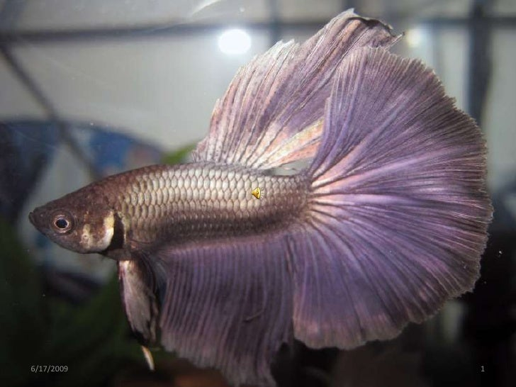 although bettas are known for their brillant colors and large, flowing fins, the natural coloration of b. splendens is a d...