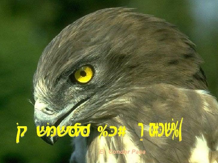 Magnifiques Oiseaux El  Condor Pasa